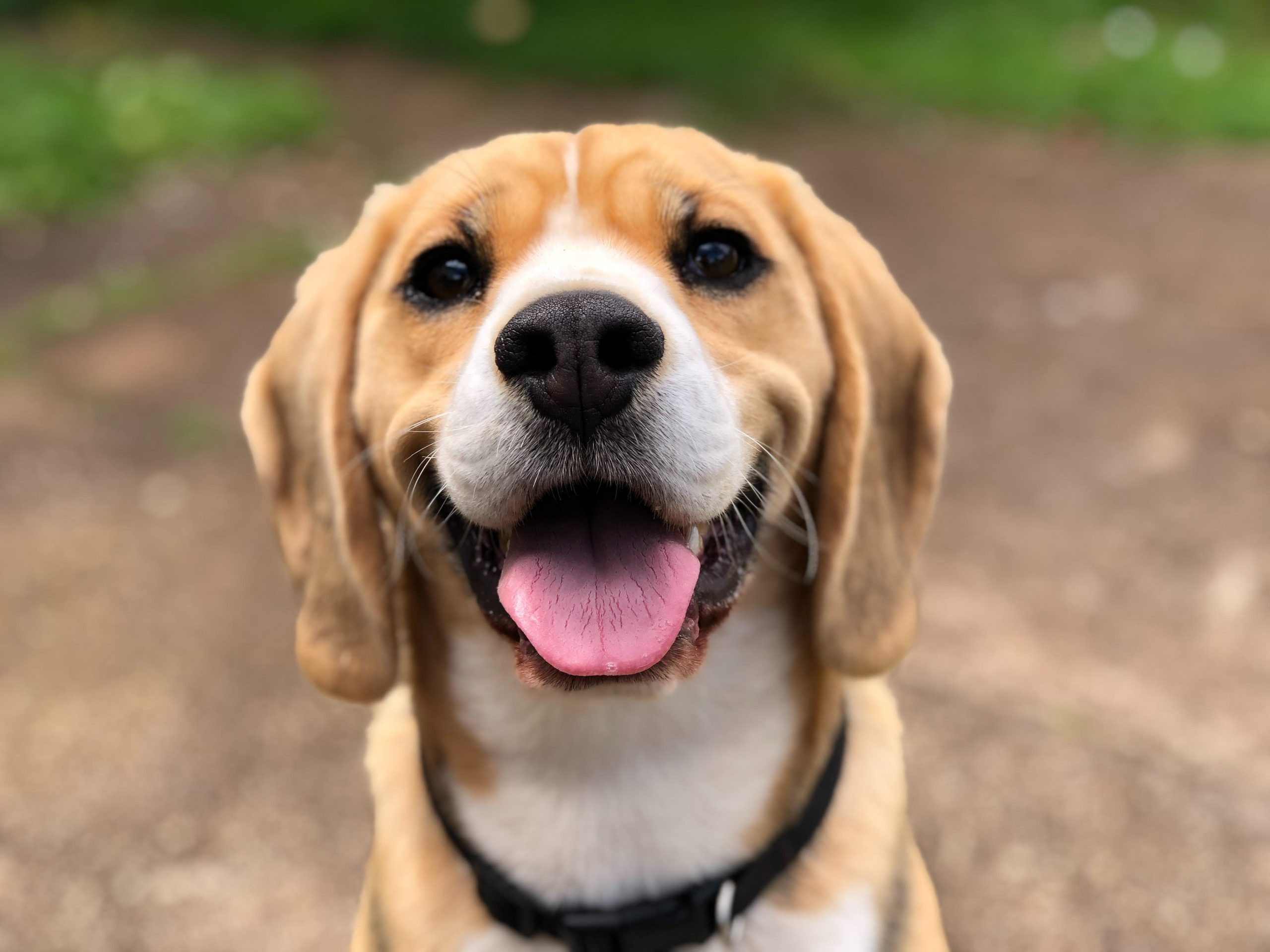 Using CBD Oil For Dogs